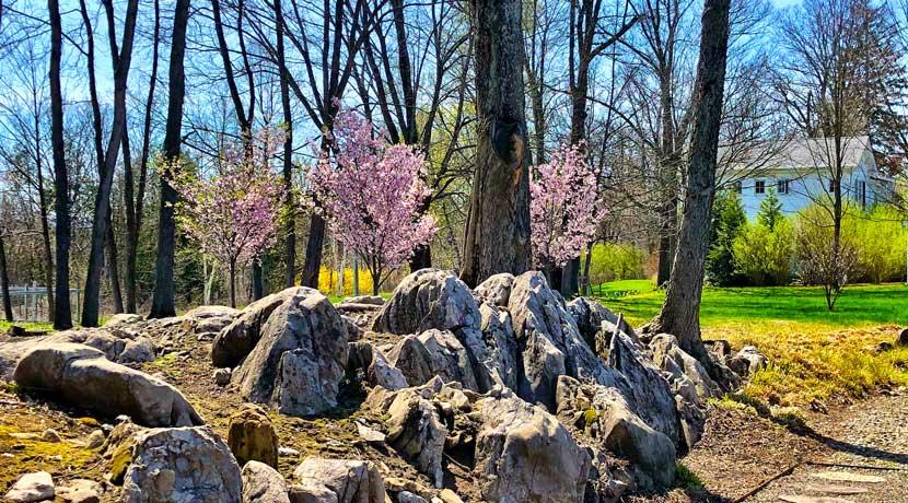 Cherry-Blossoms-copy