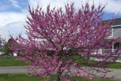 Keil-Court-41-Flowering-tree