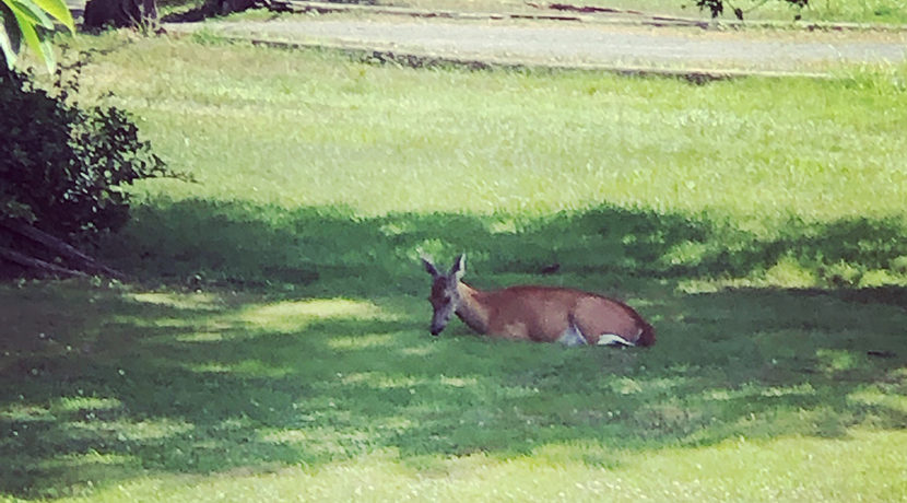 Siri deer in yard