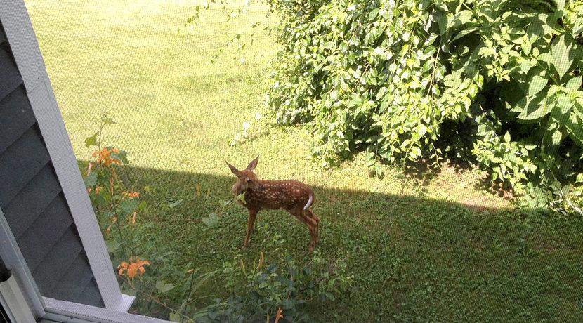 Siri fawn in yard